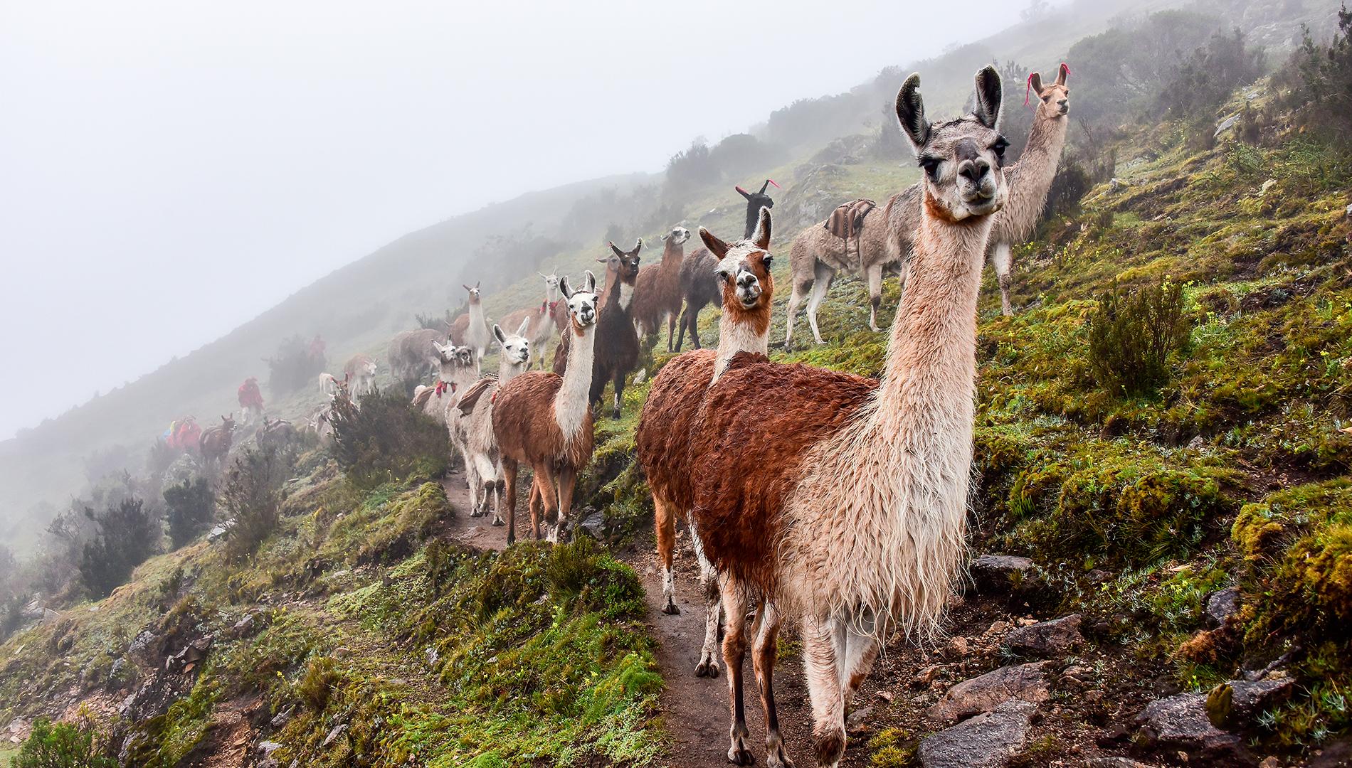 11. Llamas & Monkeys
